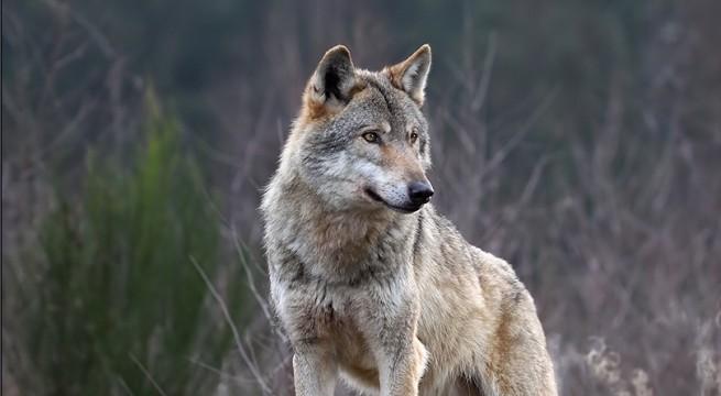 """Képtalálat a következőre: """"farkas"""""""