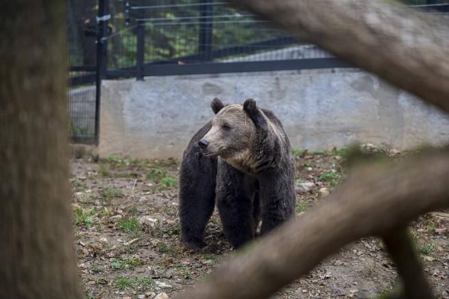 Barna medve érkezett a pécsi állatkertbe