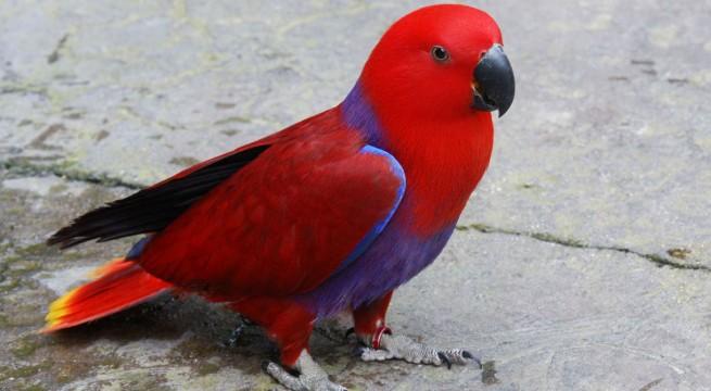 papagjpir