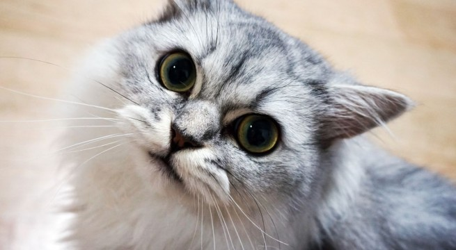 macskapupilla
