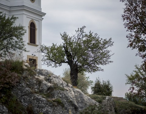 Az év fájának választott mandulafa a pécsi Havihegyen. Fotó: Sóki Tamás, MTI